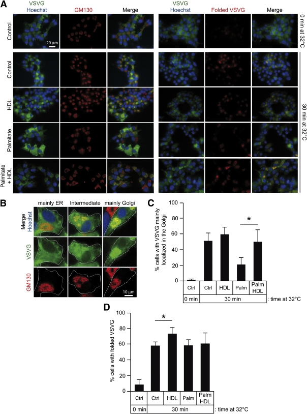 HDLs restore ER to Golgi trafficking in palmitate (Palm)-treated cells. MIN6 cells were infected with VSVG-GFP-encoding lentiviruses and treated or not with 0.4 mmol/L palmitate in the presence or in the absence of 1 mmol/L HDLs for 48 h (in each case, BSA was present at a 0.3% concentration). The cells were then incubated 5 h at 40°C. They were then treated for 15 min with 5 μmol/L cycloheximide before switching the temperature to 32°C for 0 or 30 min (note that the temperature shifts and/or cycloheximide did not induce apoptosis; see Supplementary Fig. 8 ). The cells were stained with an antibody recognizing the Golgi marker GM130 (red staining; left part of A ) or processed as described in Fig. 5 A and B (right part of A ). Nuclei were stained in blue with the Hoechst 33342 dye. Representative examples of the different locations of VSVG in cells are shown in B (VSVG mainly in the ER when the GFP signal does not colocalize with GM130 staining; VSVG mainly in the Golgi when these two signals extensively colocalize; and intermediate situation when the GFP signal only partially colocalizes with the Golgi marker). C : the quantitation of the percentage of cells with VSVG mainly localized in the Golgi, and D depicts the quantitation of the percentage of cells with correctly folded VSVG (results derived from 5 independent experiments each). *Significant differences. Ctrl, control. (A high-quality digital representation of this figure is available in the online issue.)