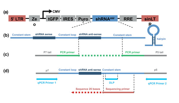 <t>PCR</t> amplification, quantitative PCR and Illumina sequencing schema . (a) Diagrammatic representation of the complete integrated shRNA construct. LTR, long terminal repeat; Ze, zeomycin resistance bacterial selectable marker; tGFP, turbo GFP; IRES, internal ribosome entry site; Puro, puromycin mammalian selectable marker; RRE, Rev response element; sinLT, self-interacting LTR. (b) The structure of the shRNAmir construct. The sense and antisense shRNA sequences hybridize to form a hairpin loop structure. (c) PCR primer alignment to the shRNA construct. The PCR primers incorporate p7 and <t>p5</t> sequences to enable capture on an Illumina flowcell. (d) Sequencing primer, quantitative PCR (qPCR) primer and qPCR dual label probe alignment to the shRNA PCR product. CMV, cytomegalovirus; DLP, dual-labeled probe.