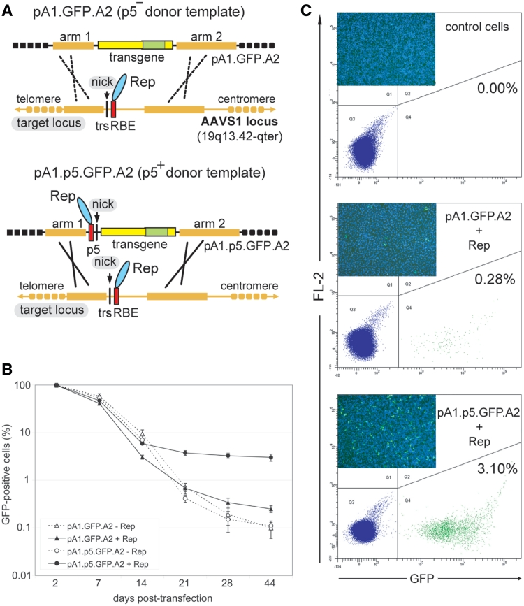 Stable genetic modification of human cells with p5-negative or -positive targeting vectors containing DNA sequences homologous to the genomic region framing the RBE and trs at AAVS1 . ( A ) Experimental setup deployed to investigate the role of sequence- and strand-specific cleavage of donor and acceptor DNA molecules on mitotic HR at an endogenous human locus . The donor template pA1.GFP.A2 differs from pA1.p5.GFP.A2 by lacking p5. Both targeting constructs contain a 4.1-kb transcription unit consisting of the EF1α promoter (large yellow box), the GFP ORF (green box) and the SV40 pA signal (small yellow box). Immediately upstream of the EF1α promoter in pA1.p5.GFP.A2 lies the nicking-competent p5 element, whose RBE and trs are indicated by a red bar and vertical thin black line, respectively. The GFP gene in both donor plasmids is bracketed by DNA segments homologous to those framing the trs (vertical thin black line) and RBE (red box) at the chromosomal target site (i.e. the AAVS1 locus embedded in the PPP1R12C gene at 19q13.42-qter). The arbitrarily designated homology 'arms' 1 and 2 (thick yellow lines) are 2063 and 4381 bps in length, respectively. The AAV endonucleases Rep78 and Rep68 are represented by a cyan oval. ( B ) Flow cytometric quantification of the frequency of GFP-positive HeLa cells at different times after co-transfection with pA1.GFP.A2 or pA1.p5.GFP.A2 and either the AAV rep78/68 expression plasmid pGAPDH.Rep78/68 (+Rep) or an 'empty' control vector (−Rep). The frequencies of GFP-positive cells at the different time points in each of the experimental groups are plotted relative to those measured at 2 days post-transfection. Bars represent means ± SD of three independent experiments. ( C ) Representative flow cytometry dot plots corresponding to untransfected HeLa cells (control cells) and to HeLa cells initially co-transfected with pA1.GFP.A2 and pGAPDH.Rep78/68 (pA1.GFP.A2 + Rep) or with pA1.p5.GFP.A2 and pGAPDH.Rep78/68 (pA1.p5.GFP.A2 + Rep) 