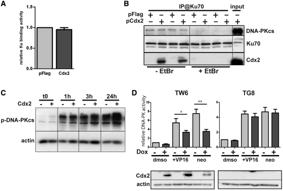 Cdx2 does alter neither Ku proteins and DNA-PKcs recruitment nor DNA-PK autophosphorylation but inhibits DNA-PKcs activity. ( A ) Cdx2 does not interfere with DSB Ku70 binding. HCT116 cells were transfected with pFlag (light gray) or Cdx2 (dark gray) expressing plasmid and Ku70 binding activity was assessed. Results represent the mean of at least four independent experiments. pFlag values were set at 1. ( B ) Cdx2 does not alter DNA-PKcs recruitment. HCT116 were transfected with either pFlag or pFlag-Cdx2 as indicated and immunoprecipitation was performed using anti-Ku70 antibodies in the presence or absence of Ethidium Bromide (EtBr) as indicated at the bottom of the figure. DNA-PKcs, Ku70 or Cdx2 were revealed by western blot. Twenty micrograms of whole-protein extract were loaded on the right line (input). ( C ) Cdx2 does not modify DNA-PKcs autophosphorylation. Time course analysis of the phosphorylation of the DNA-PKcs after etoposide treatment 100 μM for 1 hour of HCT116 cells transfected with pFlag or pFlag-Cdx2. Phospho-DNA-PKcs was revealed by western blot. β-actin was used to normalized the amount of loaded proteins. ( D ) Cdx2 inhibits DNA-PKcs activity. DNA-PKcs activity was assessed in HT29-TW6 or -TG8 (control) cells treated or not with etoposide (VP16) 100 μM or neocarzinostatin 200 ng/μL for 1 hour. Cdx2 expression was induced with doxycyclin when indicated (dark gray bars). Experiments without doxycyclin and etoposide treatment were considered as references and results were set at 1. Results illustrate the mean of at least six experiments and error bars represent SEM. Asterisk indicates a significant difference (** P