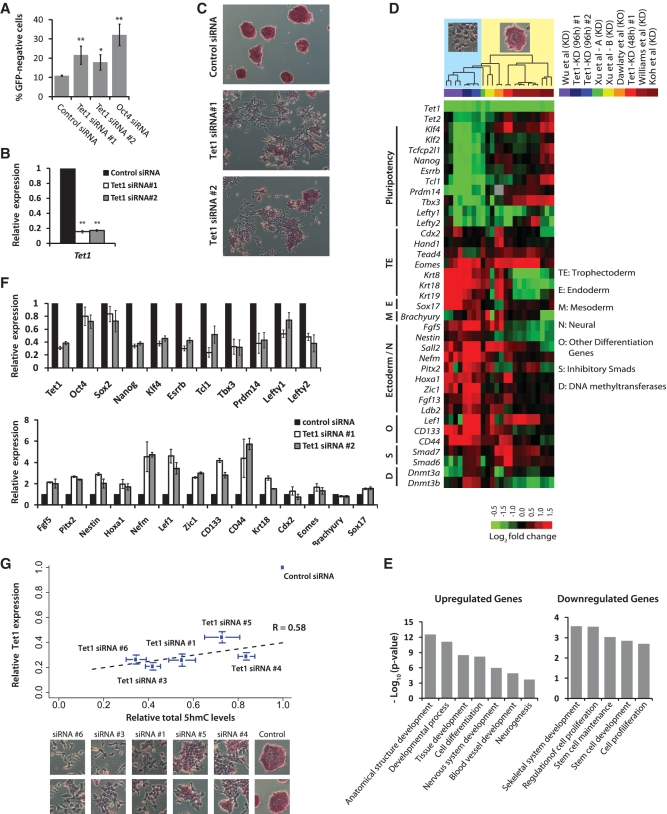 Depletion of Tet1 and 5hmC levels results in loss of mouse embryonic stem identity. ( A ) Oct4GiP mESCs were transfected with indicated siRNAs in normal ESC medium and cultured for 96 h. The percentage of differentiated cells was determined by measuring the percentage of GFP-negative cells using FACS at 96 h after transfection (** P