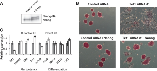 Nanog overexpression or suppression of MAPK/ERK signaling rescues <t>Tet1</t> KD phenotype. ( A ) Western blot analysis showing Nanog overexpression with HA-tag. ( B ) AP staining of E14Tg2a mESCs, with and without Nanog overexpression, transfected with control <t>siRNA</t> and Tet1 siRNA #1. Cells were cultured in normal ESC medium, and AP staining was performed 96 h after transfection. ( C ) Relative mRNA levels of selected mESC pluripotency genes and differentiation marker genes in control and Tet1 KD mESCs in 2i medium. Oct4GiP cells were transfected with control siRNA or Tet1 siRNA #1 at 50 nM in 24-well plates in 2i-medium (which inhibits MAPK/ERK and Gsk-3b signaling) and cells were harvested 96 h after transfection. The mRNA levels in control cells are set as one. Data are normalized to Actin . Error bars represent SEM of three experiments.