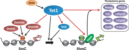 Proposed model for Tet1 -mediated epigenetic and transcriptional regulation of mESC self-renewal and pluripotency. Red arrows denote regulatory interactions inferred from data generated for this study. Tet1 , regulated by Oct4 ( 28 ), regulates DNA methylation (5mC) by converting 5mC to 5hmC ( 16 , 28 ). Tet1 regulates LIF/Stat3 signaling by facilitating Stat3 binding by an yet to be determined mechanism, and regulates the transcriptional regulatory module comprising Nanog, Esrrb, Tcl1, Tbx3, Klf2/4, Prdm14 and Lefty1/2. Tet1's regulation of Tet2 confers tight regulation of 5mC to 5hmC conversion. Tet1's negative regulation of de novo DNA methyltransferase Dnmt3b may provide an additional layer of Tet1-mediated regulation of 5mC. Silent and active promoters on the chromatin are denoted by broad red and green arrows, respectively.
