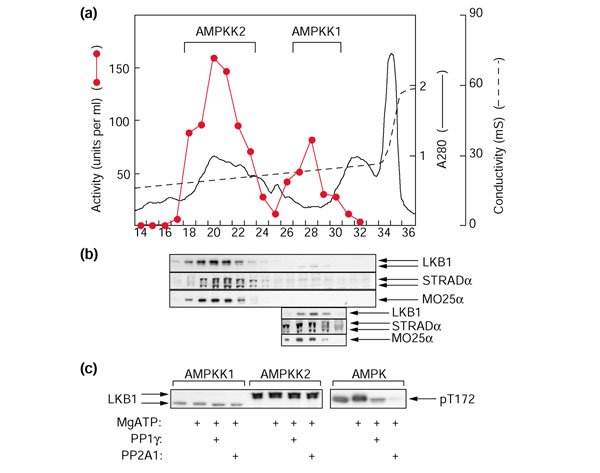 Two AMPKKs can be resolved from rat liver extracts and both contain LKB1, STRADα and MO25α. (a) Separation of two activities that activate the GST-AMPKα1 catalytic domain by Q-Sepharose chromatography. The graph shows AMPKK activity in 4.5 ml fractions (red circles and red line), absorbance at 280 nm (continuous black line) and conductivity in the eluate (dashed black line) plotted against fraction number. (b) Probing of blots of column fractions after SDS gel electrophoresis (1 μl per lane) using anti-LKB1, anti-STRADα or anti-MO25α antibodies. In the three bottom panels, fractions 26–30 were concentrated from 4.5 ml to 250 μl using Amicon Ultra-4 30,000 MWCO centrifugal concentrators, and reanalyzed by western blotting using 2 μl per lane. (c) The effect of protein phosphatase treatment on the mobility of LKB1. The peak fractions of AMPKK1 (0.2 units) or AMPKK2 (0.8 units) were incubated in a final volume of 20 μl with or without 5 mM MgCl2 and 200 μM ATP for 15 min at 30°C. Protein phosphatases (PP1γ, 8 mU; or PP2A 1 , 1 mU) or buffer were added and incubation continued for a further 15 min before stopping the reactions in SDS sample buffer and analyzing by SDS gel electrophoresis and western blotting using anti-LKB1 antibody.