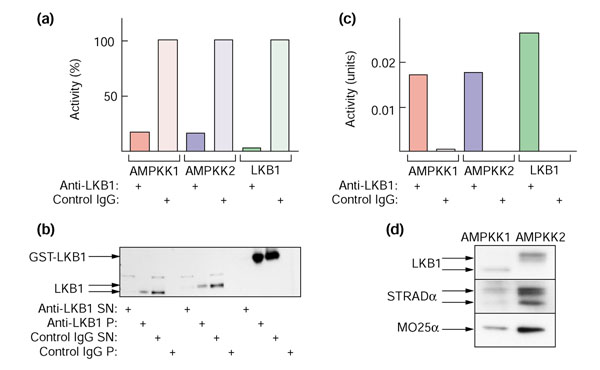 AMPKK activity (that is, the ability to activate AMPKα1 catalytic domain), and LKB1, STRADα and MO25α polypeptides, can be immunoprecipitated from rat liver AMPKK1 and AMPKK2 using anti-LKB1 antibody. (a) Depletion of AMPKK activity from supernatant. Sheep anti-human LKB1 or pre-immune control immunoglobulin (IgG) was prebound to Protein G-Sepharose beads and cross-linked with dimethylpimelimidate as described [ 47 ], except that a final wash of the beads with 100 mM glycine, pH 2.5, was performed. Bead-bound antibodies (40 μl) were incubated with the peak fraction of AMPKK1 (0.04 units), AMPKK2 (0.03 units) or recombinant GST-LKB1:STRADα:MO25α complex (0.06 units) for 120 minutes and the beads removed in a microcentrifuge (14,000 × g for 2 min). AMPKK activity was determined in the supernatants and is expressed as a percentage of the value obtained using the control IgG. (b) The pellets from the experiment in (a) were resuspended in the original volume and samples of the supernatants and pellets analysed by western blotting with anti-LKB1 antibody. The recombinant LKB1 migrates at a higher molecular mass because of the GST tag. (c) As in (a), except that the amounts of AMPKK1, AMPKK2 and recombinant GST-LKB1:STRADα:MO25α complex were increased to 0.44, 0.70 and 1.4 units, respectively, and the activities were determined in the resuspended pellets. In this experiment the amount of antibody was limiting, so only a fraction of the activity was precipitated. (d) The pellets from the experiment in (c) were resuspended and samples analyzed by western blotting with anti-LKB1, anti-STRADα and anti-MO25α antibodies.