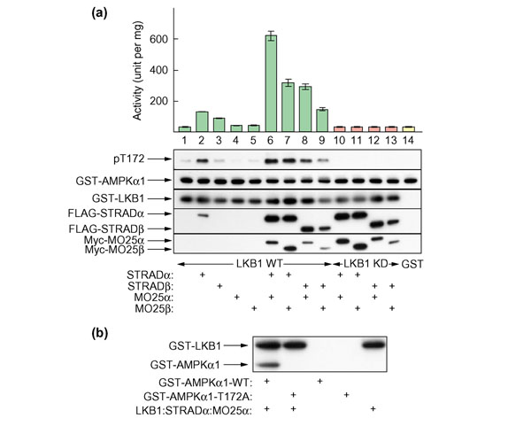 Recombinant LKB1:STRAD:MO25 complexes can efficiently activate the AMPKα1 catalytic domain via phosphorylation at Thr172. (a) The indicated combinations of GST-tagged wild-type LKB1 (WT, lanes 1–9), or kinase-dead (D194A; KD, lanes 10–13) LKB1 mutant, or GST-alone (lane 14), FLAG-tagged STRADα or STRADβ, and Myc-tagged MO25α or MO25β were coexpressed in HEK-293T cells, purified on glutathione-Sepharose and tested for their ability to activate GST-AMPKα1 catalytic domain (top panel). The results are expressed as the increase in the units of AMPK activity generated per mg full-length GST-AMPKα1 catalytic domain. Samples from each incubation were also analyzed by western blotting and probed using the indicated antibodies (from top to bottom): anti-pT172; anti-AMPKα1 catalytic domain (GST-AMPKα1); anti-GST to detect GST-LKB1; anti-FLAG to detect STRADα and STRADβ, and anti-Myc to detect MO25α and MO25β. All proteins migrated with the expected mobility, taking into account the epitope tags. The bottom three blots were conducted on blank reactions lacking GST-AMPKα1 catalytic domain, as the latter appeared to cause some interference with detection. (b) Recombinant GST-LKB1:STRADα:MO25α complex was used to phosphorylate wild-type GST-AMPKα1 catalytic domain (GST-α1-WT) or a T172A mutant (GST-α1-T172A) using [γ- 32 P]ATP as described in Materials and methods. The reaction was analyzed by SDS gel electrophoresis and autoradiography. Arrows show the migration of GST-LKB1 (which autophosphorylates) and GST-AMPKα1 catalytic domain.