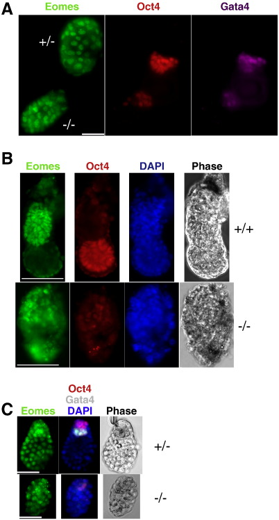 Loss of ICM cells in peri-implantation Sin3a -null embryos. A. Heterozygote and null 4.5 dpc embryos stained for Eomes (green), Oct4 (red) and Gata4 (purple). Scale bar = 50 μm. B. 5.5 dpc embryos of indicated genotypes stained for Eomes (green), Oct4 (red) and DAPI (blue). Scale bar = 100 μm. C. Sin3a +/− and Sin3a −/− embryos recovered after two days of diapause stained for Eomes (green), in the left hand panel, and Oct4 (red), Gata4 (white) and DAPI (blue) in the middle panel. Phase image of the embryos is shown in the right hand panel. Genotypes are indicated to the right. Scale bar = 50 μm.
