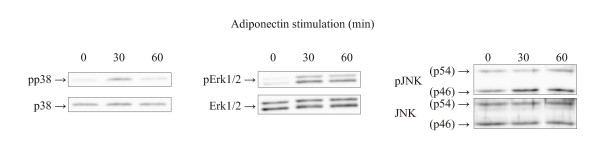 Adiponectin induces activation of mitogen-activated protein kinases in human primary chondrocytes . The effect of adiponectin (3 μg/ml) on mitogen-activated protein kinase (MAPK) phosphorylation in human primary chondrocytes obtained from patients with OA. The figure shows the results of a representative experiment which was repeated three times (that is, with cells from three donors) with similar results. MAPKs were determined by Western blot analysis at baseline and at 30 and 60 minutes after addition of adiponectin. Erk1/2 = extracellular signal-regulated kinase 1/2; JNK: c-Jun N-terminal kinase.