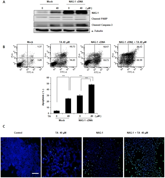 Effect of enhanced expression of NAG-1 on TA-induced <t>apoptosis</t> in KB cells. KB/NAG-1 and KB/vector cells were treated with 30 µM TA for 24 h, and apoptosis was analyzed using a TUNEL assay and by <t>FACS</t> with annexin V-FITC/PI. (A) Western Blot. Equal amounts of cell lysates (30 µg) were resolved by sodium dodecyl sulfate-polyacrylamide gel electrophoresis (SDS-PAGE), transferred to nitrocellulose membrane, and probed with anti-NAG-1, PARP, cleaved caspase-3, or α–tubulin antibody. (B and C) Apoptosis in KB cells was determined by the TUNEL method and FACS with AnnexinV-FITC/PI, as described in Fig. 3 . Data are mean values obtained from three independent experiments and bars represent standard deviations. The scale bar denotes 50 µm.
