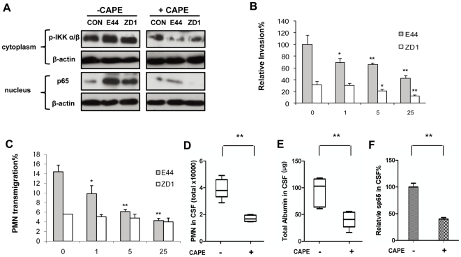Effects of CAPE on IbeA+ E. coli K1-induced NF-κB activation and pathogenicities in vitro and in vivo . ( A ) IbeA+ E. coli K1 induced NF-κB activation in HBMECs was suppressed by CAPE. HBMECs were incubated with or without the NF-κB inhibitor CAPE (25 µM) for 30 min before stimulation with E44 or ZD1 (10 7 /mL). IKK α/β phosphorylation (p-IKK α/β) in cytoplasmic fractions and NF-κB (p65) in nuclear fractions was examined after 2 h of stimulation with E. coli strains. The β-actin in both fractions was detected as internal loading controls. CON, control without E. coli stimulation. ( B–C ) Effects of CAPE (0–25 µM) on IbeA+ E. coli K1 penetration and PMN transmigration across HBMECs were examined. HBMECs were incubated with various concentrations of CAPE for 1 h before the invasion and PMN transmigration assays. ( B ). E. coli (10 7 CFU) were added to the HBMEC monolayers after CAPE treatment. Invasion assays were carried out as described in the Materials and Methods . ( C ) The CAPE-pretreated HBMECs were stimulated with E. coli (10 6 CFU) in the lower chamber for 2 h and incubated with PMN (10 6 ) in the upper chamber at 37°C for another 4 h. All assays were performed in triplicates. Results for invasion are expressed as relative invasion compared to the positive control without drug treatment (100%). Results for PMNT are expressed as the percentage of leukocyte transmigration of the total added. Both the invasion and PMNT assays were done with E44 (black column) and ZD1 (white column). E. coli meningitis was induced in neonatal mice with or without CAPE treatment (n = 5) as described in Methods and Materials . ( D ) Recruitment of PMN into the CSF; ( E ) Flux of albumin into the CNS; and ( F ) Levels of soluble NF-κB (p65) in CSF. The significant differences with regard to the controls without CAPE treatment were marked by asterisks (*P