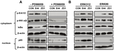 Inhibition of IbeA+ E. coli -induced IKK phosphorylation and NF-κB activation by MEK/ERK inhibitors. ( A ) HBMECs were incubated with or without PD098059 (50 µM) for 60 min before stimulation with E44 or ZD1 (10 7 /ml). ( B ) HBMECs were incubated with or without ERK89 (vimentin-binding domain, 25 µg/ml) and ERK312 (control peptide, 25 µg/ml) for 60 min before infection with E44 or ZD1 (10 7 /ml). In both ( A ) and ( B ), ERK1/2 phosphorylation (p-Erk1/2), IKK α/β phosphorylation (p-IKK α/β) and IκBα degradation were examined in cytoplasmic fractions after 30 min of stimulation with E. coli K1 strains. NF-κB (p65) translocation to the nucleus was examined in nuclear fractions after 2 h of infection with E. coli K1 strains. β-actin in both fractions was detected as internal loading controls. CON, control without bacterial stimulation.