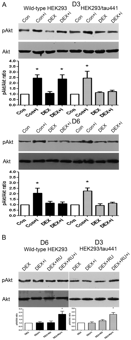 Effects of dexamethasone on the insulin-stimulated Akt phosphorylation. A): Both wild-type HEK293 and HEK293/tau441 cells were treated with 1 µM dexamethasone (DEX) for 1–6 days and then stimulated with 100 nM insulin (i) for 15 min. Representative immunoblots from the results on the third day (D3) and the sixth day (D6) after DEX treatment were shown. Bars representing means ± SEM were shown below. Total amounts of Akt remained stable under the conditions. In HEK293/tau441 cells, DEX prevented the insulin-stimulated increases in pAkt on D3 and D6. In wild-type HEK293 cells, the inhibitory effect of DEX was evident on D6 but not on D3. Each experiment was repeated three times unless stated otherwise. * P