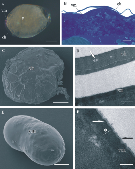 """Structure of distal chorion ( ch ) and proximal vitelline membrane ( vm ), covering Porcellio scaber A, B, D, F and Porcellio dilatatus C, E early-stage embryo. A The early-stage embryo with large amount of yolk ( y ) and no visible limb buds. B Semithin section of the embryo peripheral region. Chorion is separated from the embryo surface. The vitelline membrane is closely apposed to the embryo surface. C SEM micrograph of the early-stage embryo. The outer egg envelope, chorion, is visible. D TEM micrograph of one-layered chorion, including electron lucent """"lacunae"""" (white arrow). There is a layer of artificially spilt yolk underneath the chorion. E SEM micrograph of the early-stage embryo. Chorion is artificially removed and the inner egg envelope, vitelline membrane, is exposed. F TEM micrograph of vitelline membrane, composed of three layers: main proximal homogenous layer (*), thin middle electron dense layer (white arrow) and superficial corrugated lucent layer (black arrow). Bars: A, C, E 200 µm; B 10 µm; D 0.5 µm; F 200 nm."""