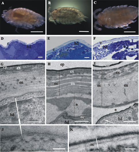 Cuticle structure and renewal in Porcellio scaber marsupial mancas. A The early-stage marsupial manca, immediately after hatching B The mid-stage marsupial manca C The late-stage marsupial manca, just prior to release from the marsupium D–F Semithin sections of the manca peripheral region in the early-stage marsupial manca D in the mid-stage marsupial manca E and in the late-stage marsupial manca F . Cuticle ( c ), overlying the hypodermis ( hd ), becomes progressively more similar to adult cuticle. G–K TEM micrographs of exoskeletal cuticle in the early-stage marsupial manca G, J in the mid-stage marsupial manca H and in the late-stage marsupial manca I, K Three main layers are distinguished: epicuticle ( ep ), exocuticle ( ex ) and endocuticle ( en ). The micrographs show morphological characteristics of cuticle renewal: detachment of the old cuticle ( oc ) from the hypodermis, ecdysal space (*) between the detached cuticle and the newly forming cuticle ( nc ) and partial degradation of the old cuticle H, I protrusions with electron dense tips (white arrows) on apical surfaces of hypodermal cells G, I, J . The new cuticle consists of two layers, external electron dense epicuticle and internal electron lucent procuticle H, I, K . Helicoidal chitin-protein fibers arrangement is discernible in some regions of late-stage marsupial manca K . Bars: A–C 500 µm; D–F 10 µm; G–I 1 µm; J, K 200 nm.