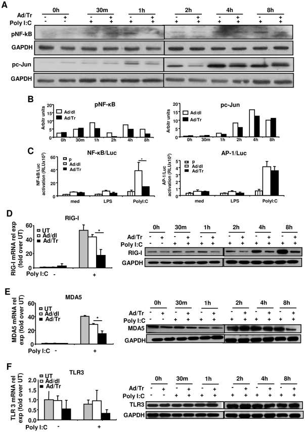 Altered NF-κB phosphorylation and transcriptional activity and reduced RIG-I and MDA5 expression in polyI∶C-treated Ad/Tr-cells. Western blots ( A ) and their quantification ( B ) of phosphorylated p65 subunit of NF-κB (pNF-κB) as well as c-Jun (pc-Jun) and GAPDH proteins were performed from whole-cell extracts of Ad-cells that were either left untreated or treated with 25 µg/ml polyI∶C during indicated time points. Transcription activity ( C ) of NF-κB (NF-κB/Luc panel) and (AP-1/Luc panel) was assessed by luciferase reporter assay by transfecting HEC-1A cells with pgkβ-Gal and pNF-κB-Luc or pAP-1-Luc plasmids (total DNA 40 ng per well) (p) alone or together with 50 MOI of Ad/dl or Ad/Tr overnight, washing, allowing to rest for 4 h and stimulating with 25 µg/ml polyI∶C and 1 µg/ml LPS for 4 h. Then luciferase and β-galactosidase activities were determined in cell lysates and expressed as relative luciferase units using galactosidase plasmid as normalization control. Data are presented as mean ± SD and are representative of three experiments for NF-κB and two - for AP-1. ( D–F, left pane ls ) Total RNA was harvested and mRNA expression of RIG-I, MDA5, and TLR3 was determined by real-time quantitative RT-PCR at 6 h post treatment with polyI∶C 25 µg/ml. Values are normalized to a housekeeping gene 18S in the same sample and presented as fold induction over untreated cells. ( D–F, right panels ) Western blot analysis of RIG-I, MDA5, TLR3, and GAPDH protein was performed from whole-cell extracts of Ad-cells that were either treated or not with 25 µg/ml polyI∶C during indicated time points. The data are representative of at least two independent experiments performed in triplicate and are shown as the mean ± SD. Statistical analysis was performed using Student's t test with * representing significant difference between the groups, p