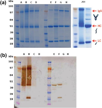 Characterization of purified recombinant Pf MSP1 19 -specific epitope-matched mouse IgGs. Characterization of the purified Pf MSP1 19 -specific mouse IgGs. KEY: IgG1 (A), IgG2a, (B), IgG2b (C), IgG3 (D). (a) Five micrograms of each Ab was run on NuPAGE 4–12% Bis–Tris SDS gels (Invitrogen) under denaturing non-reducing conditions (A–D) or denaturing reducing conditions (E–H) and compared with the control antibody human IgG1 (JS1) from which they were derived (IDEM). An expected MW of ∼150 kDa for the intact antibodies was shown (arrowed, 'IgG') although free constitutive heavy chains and light chain were observed (50 and 25 kDa respectively, arrowed). (b) Western Blot analysis of the IgG samples transferred into PVDF membranes. Analysis was made following the same conditions and sample order described on (a). Murine IgG1, IgG2a-C1 antibodies were clearly detectable with polyclonal anti-mouse IgG Fc-specific secondary antibody compared to IgG2b which was detected very faintly, but none of them with the subclass-specific secondary antibodies used in ELISA.