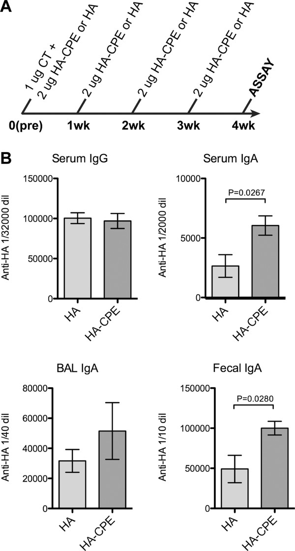 Immune response to Recombinant fusion protein . Recombinant protein vaccine and a basic four week intranasal immunization protocol, showing enhanced IgA responses by CPE targeting. Systemic serum IgG responses were also induced, without improvement by CPE targeting. A, Immunization protocol. B, ELISA results, showing increased IgA response to HA-CPE protein.