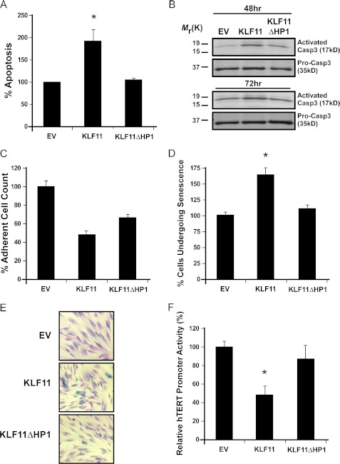 HP1 recruitment is necessary for KLF11-mediated apoptosis and senescence. A and B, HP1 plays a role in the ability of KLF11 to induce apoptosis., Apoptosis was measured by both, nuclear morphology via Hoechst 33342 staining ( A ) and caspase 3 cleavage assay ( B ). As observed by Hoescht staining ( A ), KLF11 WT increases apoptosis. KLF11ΔHP1 is defective in inducing this effect, with an apoptotic index similar to EV. The depicted results are the mean ± S.E. from three independent experiments. In caspase 3 cleavage assays ( B ), KLF11 WT increased the amount of caspase 3 cleavage, as shown by Western blot ( upper ), whereas KLF11ΔHP1 had reduced levels similar to control. Pro-caspase 3 was used as a control ( lower ). The levels of caspase 3 cleavage are shown for both, 48- and 72-h post-serum starvation. C , KLF11ΔHP1 demonstrates an increase in adherent cell number compared with KLF WT. Assessment of adherent cell count is shown after normalization to EV. Although KLF11 WT results in a significant decrease in cell numbers, this effect is blunted with KLF11ΔHP1. The graph represents the mean ± S.E. of results from three independent experiments. D and E, loss of HP1 recruitment eliminates the ability of KLF11 to increase senescence. To measure cells undergoing senescence, senescence-associated β-galactosidase staining was performed in primary fibroblasts. KLF11 increased the percentage of cells undergoing senescence. However, KLF11ΔHP1 lost this ability, behaving similar to control. The graph ( D ) depicts the mean ± S.E. from three independent experiments. A representative picture of senescence-associated β-galactosidase staining for each experimental group is shown ( E ). F, KLF11ΔHP1 is no longer able to repress the telomerase promoter. Activity of the hTERT promoter, as measured by the luciferase reporter assay, was significantly repressed by KLF11 WT, however, KLF11ΔHP1 loses this repression. Graphical depiction of the results is the mean ± S.E. from at least three independent experiments performed in triplicate. * denotes p