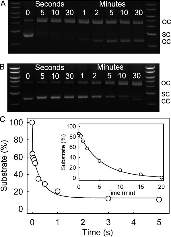 RepD nicking–closing activity on the 3650 bp pCERoriD plasmid for (A) wild-type RepD and (B) (N189K)RepD. Reactions were initiated by addition of 60 nM RepD to 15 nM pCERoriD in 50 mM Tris-HCl (pH 7.5), 100 mM KCl, 10 mM MgCl 2 , 1 mM EDTA, and 10% ethanediol at 30 °C. At the time points indicated (in seconds and minutes), samples were removed and quenched by addition of 50 mM EDTA. Samples were analyzed on a 1% agarose gel. The plasmid topology is indicated by the bands (SC, supercoiled; OC, open, circular, nicked RepD complex; CC, closed, circular). Molecular mass markers are in order from top to bottom 10, 8, 6, 5, 4, 3, and 2 kb, respectively. (C) Quench-flow time course, analyzed on a 1% agarose gel of wild-type RepD nicking on the 3650 bp supercoiled plasmid. See Experimental Procedures for concentrations and conditions. The line is the best fit exponential for the slow phase that follows a burst. The burst at > 25 s –1 has an ∼35% amplitude followed by a slow phase at ∼2.6 ± 0.4 s –1 with a further 50% reaction. The inset shows the equivalent time course with (N189K)RepD, but using manual mixing. The line is the best fit exponential giving a rate constant of 0.0031 ± 0.0001 s –1 .