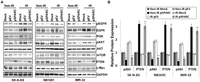 SPARC overexpression inhibits AKT phosphorylation and induces PTEN. SK-N-AS, NB1691 and IMR-32 cells were transfected with mock (PBS control), empty vector (pEV) or with pSPARC for 24 hours, and SK-N-AS and NB1691cells were irradiated (IR) with 8 Gy and IMR-32 cells were irradiated with 4 Gy dose of radiation for further 16 hours. ( A ) Cell lysates were assessed for EGFR, AKT and their phosphorylations, PI3K, mTOR, PTEN and c-Myc by western blotting. ( B ) Protein levels were quantified by densitometric analysis for pAKT and PTEN is shown in the corresponding bar graph. Columns, mean of triplicate experiments; bars, SD. Results are representative of three independent experiments. * p