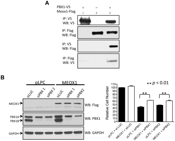 MEOX1 interacts with PBX1 and mediates its growth effect. A. HEK293 cells were transfected with PBX1-V5 and/or MEOX1-FLAG expression vectors. Immunoprecipitation and Western blot were performed using epitope tag-specific antibodies. B. Left panel: OVCAR3 cells were transfected with MEOX1 expression vector or control vector. Western blot was performed to test MEOX1 expression (top). The same cells were transfected with PBX1 siRNA or control siRNA and Western blot was performed to test the down-regulation of PBX1 protein (middle). Detection of GAPDH protein was used as a loading control (bottom). Right panel: Relative cell numbers were measured in OVCAR3 cells transfected with MEOX1 cDNA, PBX1 siRNA, control plasmid (pLPC), and control siRNA (siLuc). Student's t -test was used to determine the significance between the MEOX1 over-expressed group and the control group.