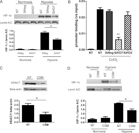 HDAC7 reduction by RNA interference or cigarette smoke extract affected HIF-1α nuclear translocation and VEGF promoter binding in A549 cells. siRNA of HDAC7 was transfected to A549, and then cells were incubated under hypoxia (0.1% oxygen, 5% CO 2 ) for 24 h. A, HIF-1α nuclear translocation was evaluated. B, HIF-1α binding to the VEGF promoter under treatment with CoCl 2 (50 μM) (mimic hypoxia) was also analyzed by chromatin immunoprecipitation (ChIP) assay. The ratio of the cycle threshold (Ct) value of HIF-1α ChIP product to input (total cells) is shown (** P