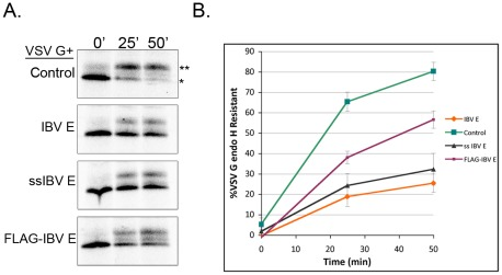 The transmembrane topology of IBV E promotes disruption of protein trafficking. (A) VSV G pulse-chase coupled with endo H digestion as described in Figure 1 . The mature (**) and immature (*) forms are indicated. (B) Quantification of the pulse-chase data. Both ssIBV E and IBV E dramatically affect protein trafficking, while FLAG-IBV E has a more modest effect. Data are from 3 independent experiments. Error bars represent +/− SEM.