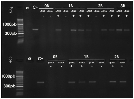 Amplification of the ITS2_B region with the ITSA and ITSB primers on genomic (gDNA) and complementary (cDNA) DNA from representative males with 0–3 B chromosomes (upper panel) and females with 0–2 B chromosomes (lower panel). Note the presence of PCR product on gDNA of B-carrying individuals but absence in the case of B-lacking ones. Also note the presence of PCR product on cDNA of only some B-carrying individuals. Ø = Negative control (with no DNA). C + = Positive control (gDNA from 1B male).