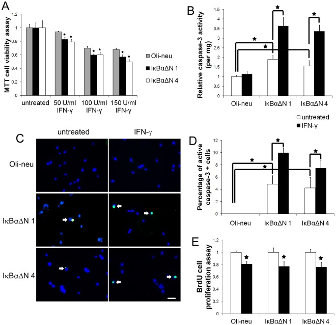 NF-κB activation promoted Oli-neu cell survival in response to IFN-γ. A. The cells were treated with 50 U/ml, 100 U/ml, or 150 U/ml IFN-γ for 24 hrs. MTT assay showed that IFN-γ treatment reduced the number of Oli-neu cells in a dose-dependent manner and that enforced expression of IκBαΔN further reduced the cell numbers. B. The cells were treated with 100 U/ml IFN-γ for 24 hrs. Caspase-3 activity assay showed that IFN-γ treatment did not alter the activity of caspase-3 in Oli-neu cells. Nevertheless, IFN-γ treatment significantly increased the activity of caspase-3 in IκBαΔN 1 and 4 cells. C , D. The cells were treated with 100 U/ml IFN-γ for 24 hrs. Active caspase-3 immunostaining showed that IFN-γ treatment did not change the percentage of active caspase-3 positive cells in Oli-neu cells. Nevertheless, IFN-γ treatment significantly increased the percentage of active caspase-3 positive cells in IκBαΔN 1 and 4 cells. E. BrdU cell proliferation assay showed that the treatment with 100 U/ml IFN-γ for 24 hrs significantly suppressed Oli-neu cell proliferation. Nevertheless, suppression of the NF-κB pathway did not significantly alter the sensitivity of Oli-neu cells to the antiproliferative effects of IFN-γ. The experiments were repeated at least three times, error bars represent standard deviation, asterisk p