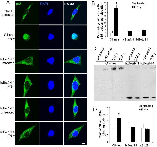 Enforced expression of IκBαΔN blocked IFN-γ-induced NF-κB activation. A. The cells were treated with 100 U/ml IFN-γ for 16 hrs. p65 and DAPI double labeling and confocal imaging analysis showed that p65 remained in the cytoplasm in the untreated Oli-neu cells and that IFN-γ treatment induced translocation of p65 from the cytoplasm to the nucleus in Oli-neu cells. Interestingly, IFN-γ treatment did not result in p65 nucleus translocation in IκBαΔN 1 and 4 cells. B. Quantitative analysis showed that the percentage of Oli-neu cells with p65 nucleus translocation was significantly increased after 16 hrs of 100 U/ml IFN-γ treatment. Nevertheless, enforced expression of IκBαΔN blocked IFN-γ-induced p65 nucleus translocation in IκBαΔN 1 and 4 cells. C, D. The cells were treated with 100 U/ml IFN-γ for 16 hrs. EMSA analysis showed a significant increase in NF-κB DNA-binding activity in Oli-neu cells treated with IFN-γ. Nevertheless, enforced expression of IκBαΔN blocked IFN-γ-induced increase in NF-κB DNA-binding activity in IκBαΔN 1 and 4 cells. The experiments were repeated at least three times, error bars represent standard deviation, asterisk p