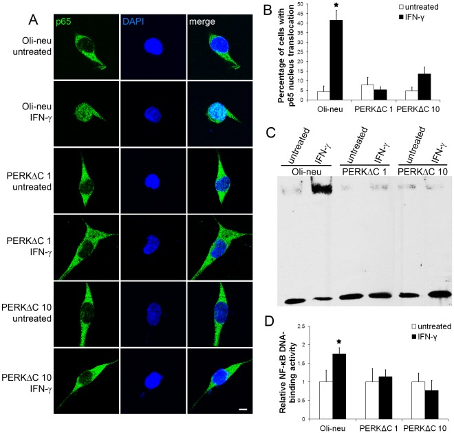 Enforced expression of PERKΔC impaired IFN-γ-induced NF-κB activation. A, B. The cells were treated with 100 U/ml IFN-γ for 16 hrs. p65 and DAPI double labeling and confocal imaging analysis showed that enforced expression of PERKΔC diminished IFN-γ-induced p65 nucleus translocation in PERKΔC 1 and 10 cells. C, D. The cells were treated with 100 U/ml IFN-γ for 16 hrs. EMSA analysis showed that enforced expression of PERKΔC blocked IFN-γ-induced increase in NF-κB DNA-binding activity in PERKΔC 1 and 10 cells. The experiments were repeated at least three times, error bars represent standard deviation, asterisk p