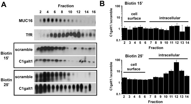 Targeted disruption of C1galt1 enhances endocytosis of <t>biotinylated</t> cell surface protein in corneal keratinocytes. (A) Cell surface protein was labeled with biotin at 4°C and then allowed to internalize for 15 or 25 min at 37°C. Crude postnuclear supernatants were ultracentrifuged using 5–25% Optiprep gradients and analyzed by agarose gel electrophoresis. Fraction 1 contains the lightest membranes; fraction 16 contains the densest membranes. The position of the plasma membrane and endocytic vesicles in the gradient was determined by western blot using antibodies to MUC16 and human TfR, respectively. Biotinylated protein was detected using streptavidin-peroxidase as described in Materials and Methods . (B) Quantitative evaluation of biotin accumulation in Optiprep density gradient. The graph shows the ratio of biotinylated protein in C1galt1 shRNA and scramble shRNA cells as determined by densitometry. Band intensity in each fraction was normalized to percent total biotin loaded in each gradient. Data for each condition are reported as the mean of three independent experiments.