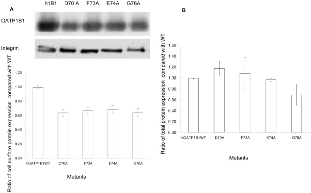 Protein expression of mutants with reduced transport activity. A. Cell surface expression of OATP1B1 and mutants. Upper panel, representative blot of OATP1B1 and mutants (D70A, F73A, E74A, G76A). Lower panel, the intensity was quantified relative to the wild-type. Cells were biotinylated, and the biotin-labeled cell surface proteins were precipitated with streptavidin beads, separated by SDS-PAGE, followed by Western blotting with anti-HA antibody. Same blot was probed with integrin antibody as surface protein loading control. B. Total protein expression of OATP1B1 and mutants. Cells were lysed with RIPA buffer, separated by SDS-PAGE, followed by Western blotting with anti-HA antibody. The band intensity was quantified relative to the wild-type. The results shown are means ± S.E. ( n = 3).