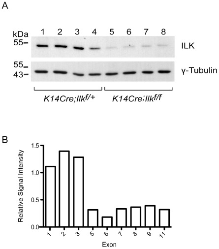 Targeted inactivation of Ilk and loss of ILK transcripts and protein in mouse epidermis. ( A ) The skin of 3 day-old K14Cre-Ilk f/+ and K14Cre-Ilk f/f mice (4 each, from two different litters) was isolated and treated with dispase to separate the epidermis from the dermis. Epidermal lysates were prepared and analyzed by immunoblot with antibodies against ILK or γ-tubulin, used as loading control. ( B ) Total RNA from K14Cre-Ilk f/+ and K14Cre-Ilk f/f mice (5 each) was used to interrogate GeneChip Mouse Gene 1.0 ST Arrays, and the signal intensity corresponding to individual Ilk exons was analyzed. The average intensity values obtained for each exon in RNA from K14Cre-Ilk f/f epidermis are shown relative to those in K14Cre-Ilk f/+ tissues, which have been set to 1.0.