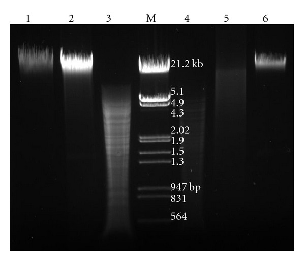 Comparison of digestion pattern of eDNA and genomic DNA (by DNase I and restriction enzymes). Agarose gel (0.8%) showing Lane 1: Genomic DNA, Lane 2: Digestion of genomic DNA with DNase I, Lane 3: Digestion of genomic DNA with restriction enzymes ( Bam HI, Eco RI, Hin dIII, Pst I, Xba I, Xho I), Lane M: Molecular weight marker ( λ phage genome Eco RI /Hin dIII digest), Lane 4: Digestion of eDNA with restriction enzymes ( Bam HI, Eco RI, Hin dIII, Pst I, Xba I, Xho I), Lane 5: Digestion of eDNA with DNase I, Lane 6: Purified eDNA.