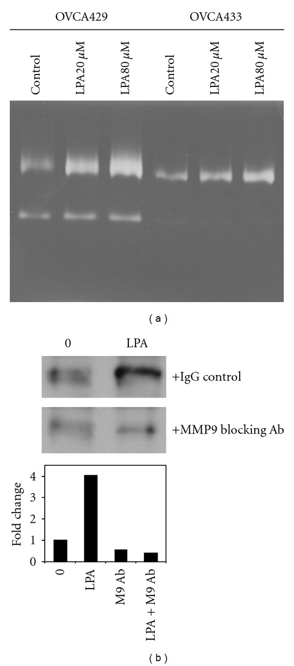 LPA induces MMP-9-dependent <t>E-cadherin</t> ectodomain shedding. (a) OVCA429 and OVCA433 cells were treated with LPA (0, 20, or 80 μ M, as indicated) and conditioned media evaluated for MMP expression by gelatin zymography. (b) Cells were treated with LPA (20 μ M) in the presence or absence of anti-MMP-9 function blocking antibody (10 μ g/mL). Conditioned media were subjected to immunoprecipitation with <t>anti-E-cadherin</t> antibodies, and precipitates were western blotted with a second E-cadherin antibody (Zymed, 1 : 1,000) followed by peroxidase-conjugated secondary antibody (1 : 5,000) and enhanced chemiluminescence detection. The lower panel shows densitometric quantitation of replicate western blots.