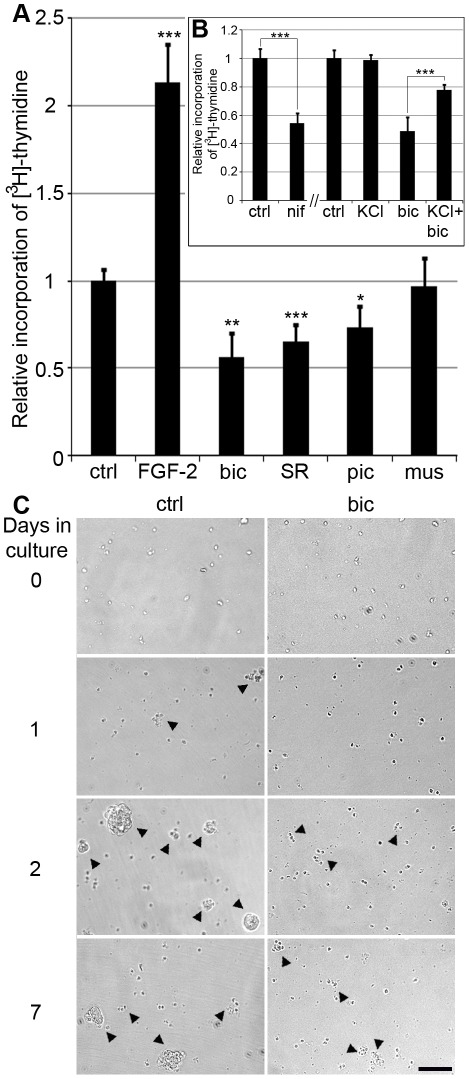 Effects of GABA A receptor and voltage-gated Ca 2+ channel inhibitors on NPE cell proliferation. Bar graphs show the relative proliferation levels of dissociated NPE cells determined by incorporation of [ 3 H]-thymidine. (A) Proliferation levels of cells treated with FGF-2 (1.5 µg/ml), bicuculline (20 µM bicuculline, 1 µM GABA), SR-95331 (50 µM SR-95531, 1 µM GABA), picrotoxin (50 µM picrotoxin, 1 µM GABA) and muscimol (50 µM muscimol, 1 µM GABA) in relation to control cells (1 µM GABA), (B) Proliferation levels of cells treated with the VGCC antagonist nifedipine (10 µM nifedipine, 1 µM GABA), KCl (20 mM, 1 µM GABA), bicuculline (20 µM, 1 µM GABA) or KCl + bicuculline (20 µM bicuculline, 20 mM KCl, 1 µM GABA) in relation to control cells (1 µM GABA). Vehicle and control for nifedipine treatment was DMSO (0.01%). Error bars ±SD, n = 4 independent cultures. Statistical test was one-way ANOVA, Tukey's multi-comparison post-hoc test; p