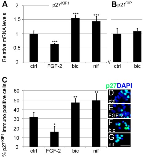 Expression of cyclin-dependent protein kinase inhibitors p27 KIP1 and p21 CIP in cultured NPE cells. mRNA levels in cultured NPE cells were analysed by qRT-PCR and normalised to β-actin and TATA box binding protein. Relative expression of (A) p27 KIP1 in control (1 µM GABA), FGF-2- (1.5 µg/ml), bicuculline- (20 µM bicuculline, 1 µM GABA), or nifedipine-treated (10 µM nifedipine, 1 µM GABA) cells. (B) Relative mRNA levels of p21 CIP in control (1 µM GABA) or bicuculline-treated cells (20 µM bicuculline, 1 µM GABA). Fixed dissociated cells were stained with the nuclear stain DAPI and an antibody against p27 KIP1 . (C) Percentage of p27 KIP1 cells in the control, FGF-2-, bicuculline- and nifedipine-treated cells. Error bars ±SD, n = 4 independent cultures. Statistical test was one-way ANOVA, Tukey's multi-comparison post hoc test; p