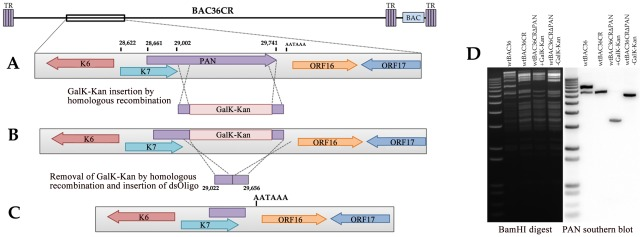 Generation of a recombinant BACmid with the PAN RNA locus deleted, BAC36CRΔPAN. (A) The BAC36CR template was used to insert the GalK-KanR cassette such that 634 nts of the PAN RNA gene was removed from the genome. (B) The GalK-KanR cassette was removed by homologous recombination and reverse selection. (C) BAC36CRΔPAN was generated by removal of the GalK-KanR cassette and the putative polyadenlyation signal downstream of the original PAN RNA and K7 genes was preserved. (D) Ethidium bromide stained agarose gel and Southern blot of BAC36, BAC36CR and BAC36CRΔPAN DNA cleaved with BamHI showing the removal of part of the PAN RNA locus.