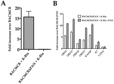 Overexpression of K-Rta cannot complement BAC36CRΔPAN. (A) BACmid containing cell lines were transfected with a K-Rta expression plasmid and supernatant virus DNA was measured 4 days post transfection. The experiment was repeated 3 times. Error bars are the standard deviation from the mean. (B) Trans expression of K-Rta activates viral promoters in BAC36CRΔPAN containing cells and expression is enhanced in the presence of PAN RNA. BAC36CRΔPAN containing cells were transfected with K-Rta with or without the cotransfection of the PAN RNA expression plasmid and qPCR analysis was performed to measure mRNA accumulation for several viral encoded genes.