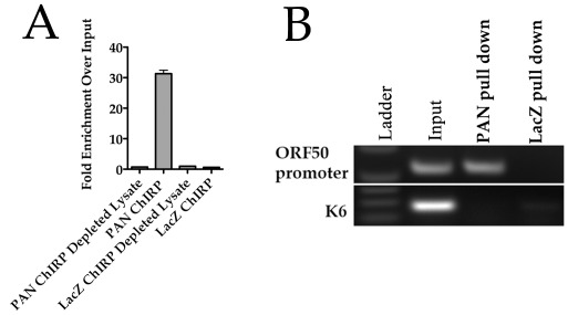 PAN RNA physically interacts with the ORF50 promoter. (A) PAN RNA is enriched 30-fold by ChIRP assay. PAN RNA or LacZ specific biotinylated oligonucleotides were used to enrich PAN RNA. Recovered RNA or RNA from the depleted lysate (post ChIRP) was measured by qPCR. (B) TREx/BCBL-1 Rta cells were treated with DOX and 3 days post treatment ChIRP assays were performed. Tiling biotinylated oligonucleotides were used that hybridized to either PAN RNA (20 oligonucleotides) or control LacZ RNA (20 oligonucleotides). Pulled down DNA that was occupied by RNA was amplified using primers specific for the ORF50 promoter region or K6 ORF coding sequence.