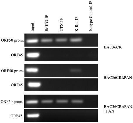 JMJD3 and UTX demethylases interact with KSHV DNA in the presence of PAN RNA expression. Cell lines containing BAC36CR or BAC36CRΔPAN were transfected with a K-Rta expression plasmid and ChIP assays were performed 3 days post transfection. Immunoprecipitations were performed using antibodies specific for JMJD3, UTX, K-Rta or an isotype specific antibody control. PCR primers specific for the ORF50 promoter or ORF45 were used to amplify immunoprecipitated DNA. Panel BAC36CRΔPAN+PAN: cells were transfected with both a K-Rta and PAN RNA expression plasmid.