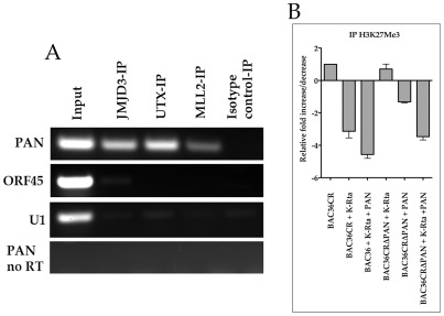 PAN RNA interacts with demethylases and the histone methyltransferase MLL2. (A) TREx/BCBL-1 Rta cells were treated with DOX and RNA CLIP assays were performed 3 days post treatment. PAN RNA-protein complexes were immunoprecipitated using anti-JMJD3, anti-UTX, anti-MML2 or isotype control antibodies. PCR primers were used to amplify (after RT) PAN RNA, ORF45 RNA or U1 RNA. Also shown is PCR amplification without a reverse transcriptase reaction (PAN no RT). (B) PAN RNA expression leads to a relative decrease in the H3K27me3 mark on the ORF50 promoter. BAC36CR or BAC36CRΔPAN containing cells were transfected with either a K-Rta expression plasmid and/or a plasmid expressing PAN RNA. ChIP assays were performed using anti-H3K27me3 specific antibody. Immunoprecipitated DNA was analyzed by qPCR normalized to input DNA. Data is reported as fold decrease compared to BAC36CR untreated samples. Error bars are the standard deviation of the mean from three separate experiments.