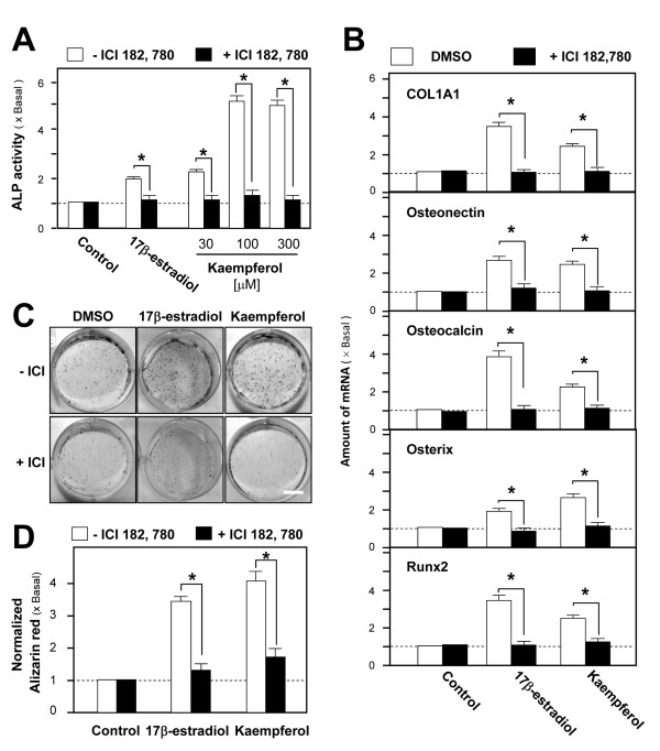 Kaempferol-induced osteogenic differentiation is mediated by ER signaling cultured osteoblasts . A: Application of 17β-estradiol (100 nM) or kaempferol (30 - 300 μM) in cultured osteoblasts for 3 days increased ALP activity in a dose-dependent manner. The stimulatory effect was abolished upon pre-treatment with ICI 182,780 (100 nM) for 1 hour. The ALP activities detected after the pre-treatment of ICI 182, 780 were compared with the ALP activities detected without the pre-treatment. The statistically significant results include the blocking effects of 17β-estradiol ( P = 0.0412), kaempferol at 30 μM ( P = 0.0485), 100 μM ( P = 0.0081) and 300 μM ( P = 0.0086). B: Cultured osteoblats were treated with 17β-estradiol (100 nM) or kaempferol (10 μM) for 2 days, with or without pre-treatment with ICI 182,780 (100 nM) for 1 hour. Total RNAs were extracted from the cultures to perform quantitative PCR for osteogenesis-associated genes, including type I collagen ( COL1A1 ), osteonectin, osteocalcin, osterix and Runx2 mRNAs. The mRNA amounts of osteogenesis-associated genes detected after the pre-treatment of ICI 182, 780 were compared with the mRNA amounts detected without the pre-treatment. The statistically significant results include the blocking effects of 17β-estradiol ( P = 0.0012 for COL1A1; P = 0.0070 for osteonectin; P = 0.0033 for osteocalcin; P = 0.0441 for osterix and P = 0.0023 for Runx2) and kaempferol ( P = 0.0065 for COL1A1; P = 0.0063 for osteonectin; P = 0.0072 for osteocalcin; P = 0.0068 for osterix and P = 0.0064 for Runx2). C: Cultured osteoblasts underwent mineralization upon the addition of 17β-estradiol (100 nM) or kaempferol (10 μM) in the presence of β-glycerophosphate (5 mM). After 21 days of treatment, nodules were found, as shown by Alizarin Red staining. The mineralization process was hindered by pre-treatment with ICI 182,780 (100 nM). D: From the cultures of (C), Alizarin Red staining was quantified using a solution of 20% methanol and 10% acetic acid in water, and the reading was done on a spectrophotometer at 450 nm. The normalized alizarin red amounts detected after the pre-treatment of ICI 182, 780 were compared with the amount detected without the pre-treatment. The statistically significant results include the blocking effects of 17β-estradiol ( P = 0.0093) and kaempferol ( P = 0.0085). Values in all panels are expressed as the fold increase from the basal reading (control culture; 0.02% DMSO); mean ± SD, n = 5, each with triplicate samples.