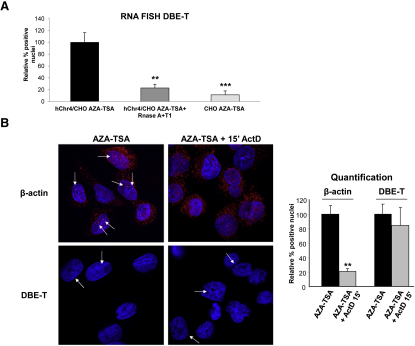 DBE-T Is a Mature RNA, Related to Figure 4 (A) Human chr4/CHO and CHO cells were collected in the de-repressed state (AZA+TSA). A set of samples were treated with RNase A+T1. RNA FISH quantification of DBE-T positive nuclei was performed in all conditions and it was normalized to signals in human chr4/CHO cells treated with AZA+TSA. The error bars represent SD. (B) AZA+TSA human chr4/CHO cells were treated (Right panels) or untreated (Left panels) with Actinomycin D at 5 μg/ml for 15′. Hybridization to β-actin (Top panels) or DBE-T (Bottom panels) RNAs was performed. The arrows indicate dots of nuclear RNAs. See Statistical Test section for statistical analysis. The error bars represent SD. DBE-T and β-actin RNAs are in red. DAPI is in blue. The images correspond to a single Z stack acquired with an Olympus IX70 DeltaVision RT Deconvolution System microscope. (A and B) The asterisks indicate statistically significant differences. A Two-tailed, paired, t test was applied. For DBE-T : human chr4/CHO AZA+TSA n = 4; human chr4/CHO AZA+TSA + Actinomycin D n = 4, p = 0.0914; human Chr4/CHO AZA+TSA + RNase A+T1 n = 4, p = 0.0056; CHO AZA+TSA n = 4, p = 0.0006. For β-actin : human chr4/CHO AZA+TSA n = 4; human chr4/CHO AZA+TSA + Actinomycin D n = 4, p = 0.0012.
