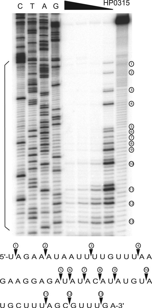 Primer extension inhibition analyses of mRNA cleavage by GB1_HP0315. Lanes 1–4 are <t>DNA</t> sequence ladders. Lane 5–9 is primer extension products of mRNA of HP0315 after digestion with various amounts of GB1_HP0315. Cleavage sites are indicated by sequential numbers on right side of the images. The <t>RNA</t> recognition sequences analyzed by the DNA sequencing ladder are on bottom side of the images. Preferential cleavage sites are mainly before the bases A and G.