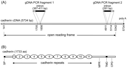 Schematic structures of T. ni cadherin cDNA and deduced protein sequences. (A) The cDNA (5734 bp in length) contains an open reading frame of 5202 bp from position 141 to 5342, and a poly A tail at the 3′ end. Also shown in (A) are two fragments of the genomic DNA of the cadherin gene, gDNA fragment 1 and gDNA fragment 2, amplified by PCR. gDNA PCR fragment 1 corresponds to the cDNA region from base positions 1705 to 1856 and contains an intron of 367–411 bp inserted between the cDNA base positions 1822 and 1823. gDNA PCR fragment 2 corresponds to the cDNA region from base position 4911 to 5114 and contains an intron of 291 bp inserted between cDNA base positions 4969 and 4970. (B) The deduced cadherin sequence (733 aa in length) contains a 21-aa signal peptide at the N-terminus, 11 cadherin repeats (from 1 to 11), followed by a membrane-proximal region (MPR), a transmembrane domain (TMD) of 23 amino acid residues, and a cytoplasmic domain (CPD) of 128 amino acid residues.