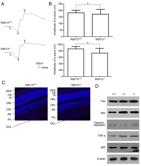 Full-field electroretinogram responses and apoptosis detection in Rdh13 +/+ and Rdh13 −/− mice. A : The scotopic electroretinogram responses of Rdh13 +/+ and Rdh13 −/− mice at 10 months of age were recorded. B : The amplitudes of a- and b-waves for either genotype was plotted as the mean±SD (n=5, each group), *: p > 0.05. C : The terminal deoxynucleotidyl transferase dUTP nick-end labeling (TUNEL) staining showed that there was no obvious apoptosis in both Rdh13 +/+ and Rdh13 −/− mice at 10 months of age. D : Apoptosis genes expression in Rdh13 +/+ , Rdh13 +/− , and Rdh13 −/− mice was detected by western blots. There was no increased expression level of apoptosis genes in all genotypes, which was in accordance with the result of TUNEL.TNF-α, tumor necrosis factor alpha; Fas, TNF receptor superfamily member 6; Bax, B-cell lymphoma 2-associated X protein; P65, nuclear factor-kappa B P65; RPE, retinal pigment epithelia; OS, outer segments; IS, inner segments; ONL, outer nuclear layer; OPL, outer plexiform layer; INL, inner nuclear layer; IPL, inner plexiform layer; GCL, ganglion cell layer.