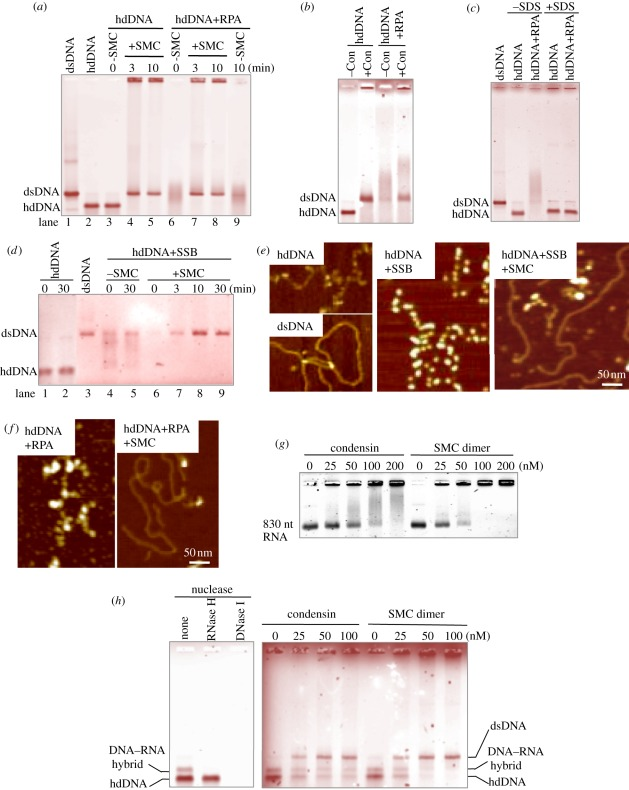 Condensin SMC-mediated elimination of RPA from hdDNA. ( a ) SMC dimer promotes reannealing of RPA-coated hdDNA. Lanes 1,2: control ds and hdDNA; 3–5: naked hdDNA (heat denatured and then rapidly cooled) was incubated with or without SMC for 0, 3 or 10 min; 6–9: hdDNA pre-coated with RPA was further incubated with (lanes 6–8) or without (lane 9) the SMC dimers. After incubation, samples were analysed on a 0.7% native agarose gel (without SDS). ( b ) Holocondensin also produced dsDNA from RPA-coated hdDNA. Native agarose gel was used. ( c ) hdDNA incubated with RPA complex was analysed in the absence or presence of SDS. See text. ( d ) Lanes 1,2: hdDNA incubated alone for 0 or 30 min; 3: dsDNA; 4–9: hdDNA pre-coated with SSB for 5 min at 30°C, and further incubated for 30 min without (lanes 4,5) or with SMC for 0–30 min (lanes 6–9). The reaction mixtures were analysed by native agarose gel electrophoresis. ( e ) AFM images hdDNA (top left), dsDNA (bottom left), hdDNA coated with SSB (middle). SMC was added and incubated with SSB-coated hdDNA for 30 min (right). ( f ) AFM images of hdDNA coated with S. pombe RPA (left); SMC dimer was added and incubated with RPA-coated hdDNA for 30 min (right). ( g ) Condensin and SMC dimer binding to RNA that was made in electronic supplementary material, figure S5. The samples were analysed using a 4% native agarose (NuSieve) gel in the absence of SDS. ( h ) (left) The mixture of hdDNA and DNA–RNA hybrid was digested with DNase I or RNase H. The hybrid band was selectively digested with RNase H. (right) Condensin and SMC dimers (0–100 nM) were incubated with the mixture, and SDS was used to stop the reactions. The samples were analysed using a 0.7% agarose gel. Staining with ( a–d,h ) ethidium bromide and ( g ) SYBR Gold.