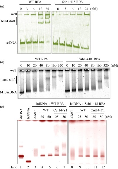 Interaction of mutant RPA with <t>DNA</t> and the mutant SMC dimer. ( a,b ) Interaction of WT and mutant RPA complexes with ( a ) short and ( b ) long ssDNA. The heterotrimeric RPA that contained the Ssb1-418 mutant protein was purified and mixed with ( a ) short 86 nt ssDNA and ( b ) long M13 ssDNA, followed by ( a ) native acrylamide and ( b ) native agarose gel electrophoresis (in the absence of SDS). Binding of the mutant RPA to short 86 nt ssDNA was greatly diminished, whereas the binding to M13 ssDNA was only slightly diminished. ( c ) WT and mutant RPA (80 nM) were bound to heat-denatured <t>hdDNA</t> for 5 min on ice, followed by the addition of WT and mutant SMC dimer-containing Cut14-Y1 (0, 25, 50 nM) for the reannealing reaction at 30°C for 30 min. Resulting reaction mixtures were analysed using 0.7% native agarose gels and stained with ethidium bromide. Diffuse bands represented hdDNA coated with RPA, which formed with the WT and mutant RPA. The ability of mutant SMC dimer (Cut14-Y1) for reannealing was diminished for hdDNA precoated with the WT RPA, whereas the reannealing went equally well when the mutant RPA previously coated hdDNA. Staining with ( a ) FITC, ( b ) SYBR Gold and ( c ) ethidium bromide.